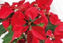 Istruzioni e Consigli per valorizzare la bellezza della Stella di Natale.