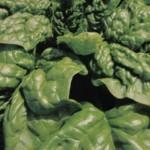 Lo spinaccio, di costituzione robusta, antianemica e rinforzante, è proprio una pianta di ferro.