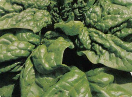 Lo spinacio è proprio una pianta di ferro.