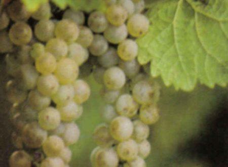 Gli acini protagonisti dei piatti, richiedono il nettare dei grappoli.