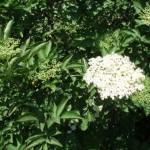 Le mille proprietà dei fiori e delle bacche di sambuco.