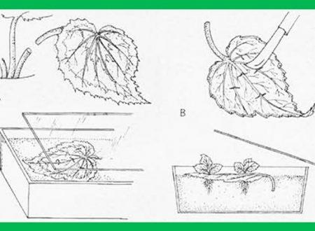 Come moltiplicare una pianta di rosa con la tecnica della talea, accorgimenti e cure.