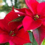 Come conservare Stella di Natale simbolo di eventi festivi e non soltanto in Italia.